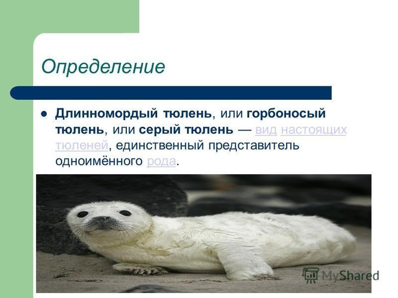 Определение Длинномордый тюлень, или горбоносый тюлень, или серый тюлень вид настоящих тюленей, единственный представитель одно имённо города.вид настоящих тюленей рода