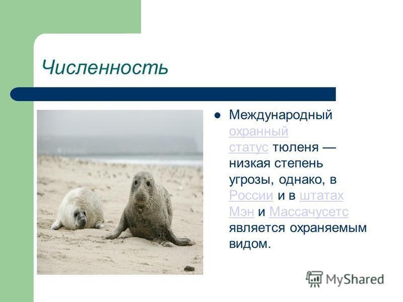 Численность Международный охранный статус тюленя низкая степень угрозы, однако, в России и в штатах Мэн и Массачусетс является охраняемым видом. охранный статус Россииштатах Мэн Массачусетс