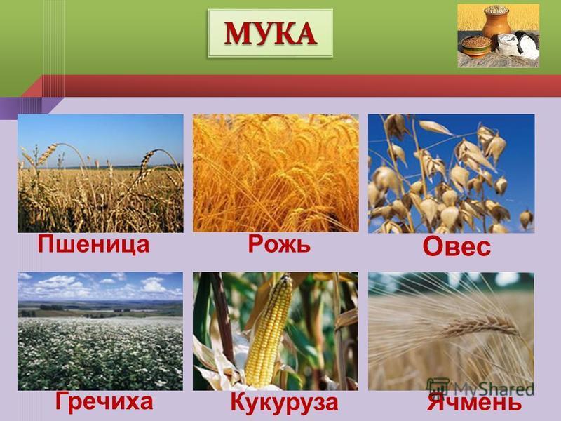 Ячмень Кукуруза Пшеница Рожь Гречиха Овес