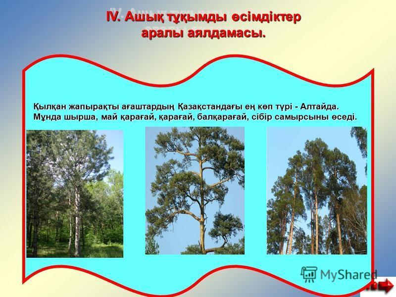 IV. Ашық тұқымды өсімдіктер аралы аялдамасы. Қылқан жапырақты ағаштардың Қазақстандағы ең көп түрі - Алтайда. Мұнда шырша, май қарағай, қарағай, балқарағай, сібір самырсыны өседі.