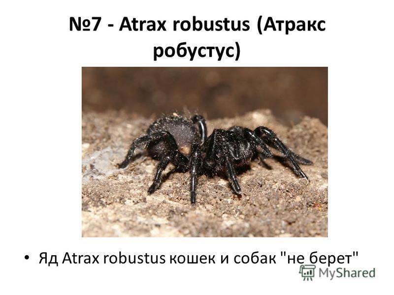 7 - Atrax robustus (Атракс робустус) Яд Atrax robustus кошек и собак не берет