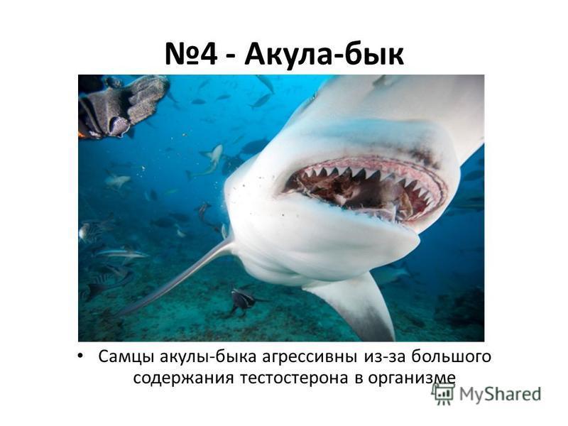 4 - Акула-бык Самцы акулы-быка агрессивны из-за большого содержания тестостерона в организме