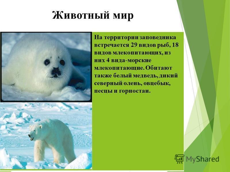 Животный мир На территории заповедника встречается 29 видов рыб, 18 видов млекопитающих, из них 4 вида-морские млекопитающие. Обитают также белый медведь, дикий северный олень, овцебык, песцы и горностаи.