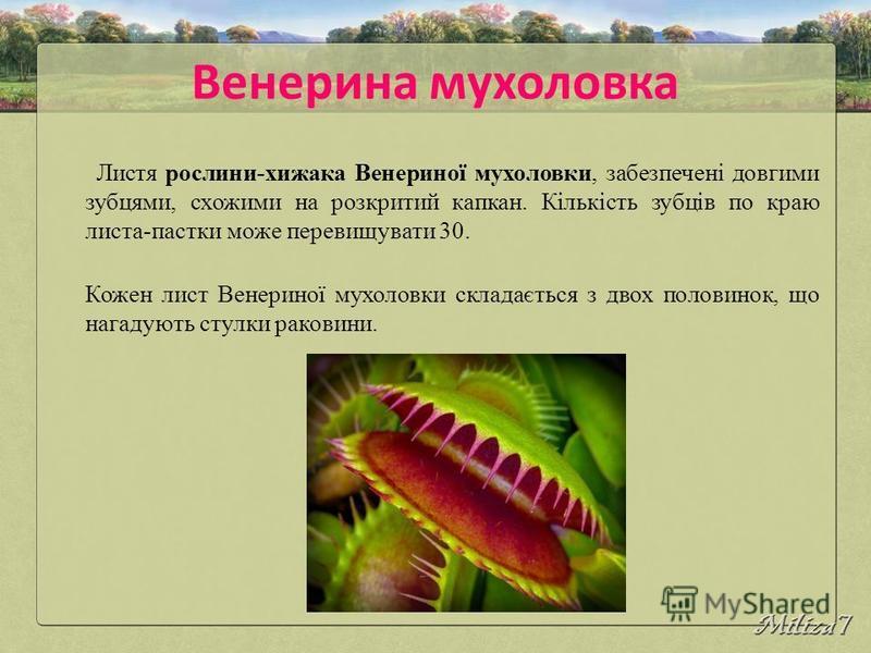 Венерина мухоловка Листя рослини-хижака Венериної мухоловки, забезпечені довгими зубцями, схожими на розкритий капкан. Кількість зубців по краю листа-пастки може перевищувати 30. Кожен лист Венериної мухоловки складається з двох половинок, що нагадую