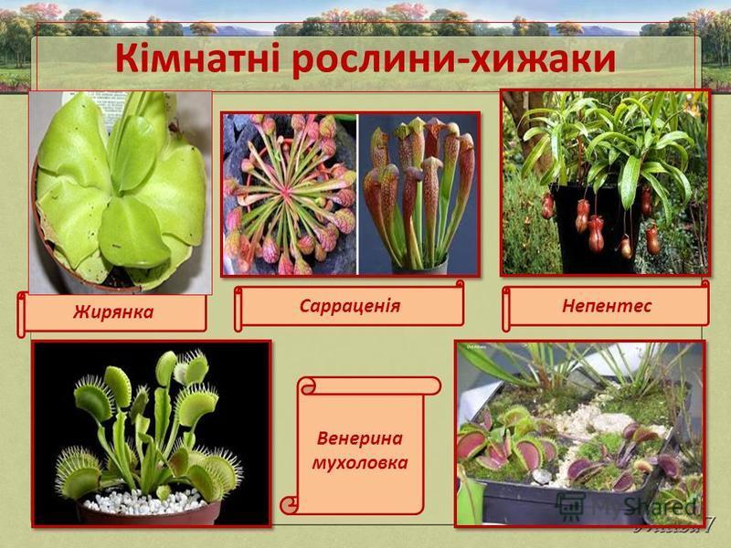 Кімнатні рослини-хижаки Жирянка СарраценіяНепентес Венерина мухоловка