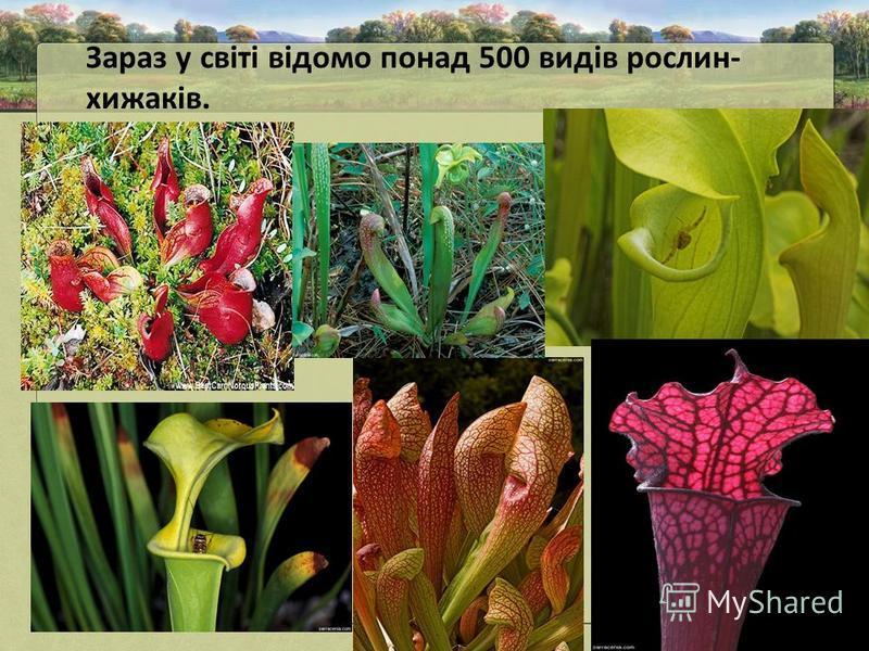 Зараз у світі відомо понад 500 видів рослин- хижаків.
