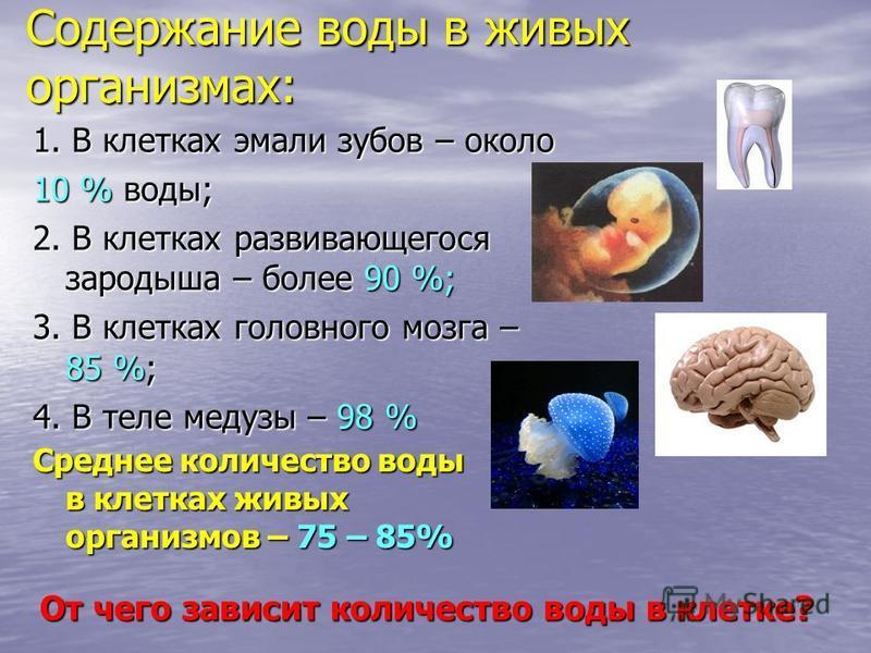 Содержание воды в живых организмах: 1. В клетках эмали зубов – около 10 % воды; 2. В клетках развивающегося зародыша – более 90 %; 3. В клетках головного мозга – 85 %; 4. В теле медузы – 98 % От чего зависит количество воды в клетке? Среднее количест