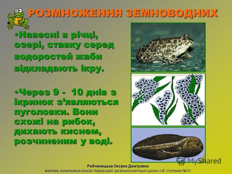 Навесні в річці, озері, ставку середНавесні в річці, озері, ставку серед водоростей жаби відкладають ікру. Через 9 - 10 днів з ікринок зявляються пуголовки. Вони схожі на рибок, дихають киснем, розчиненим у воді.Через 9 - 10 днів з ікринок зявляються