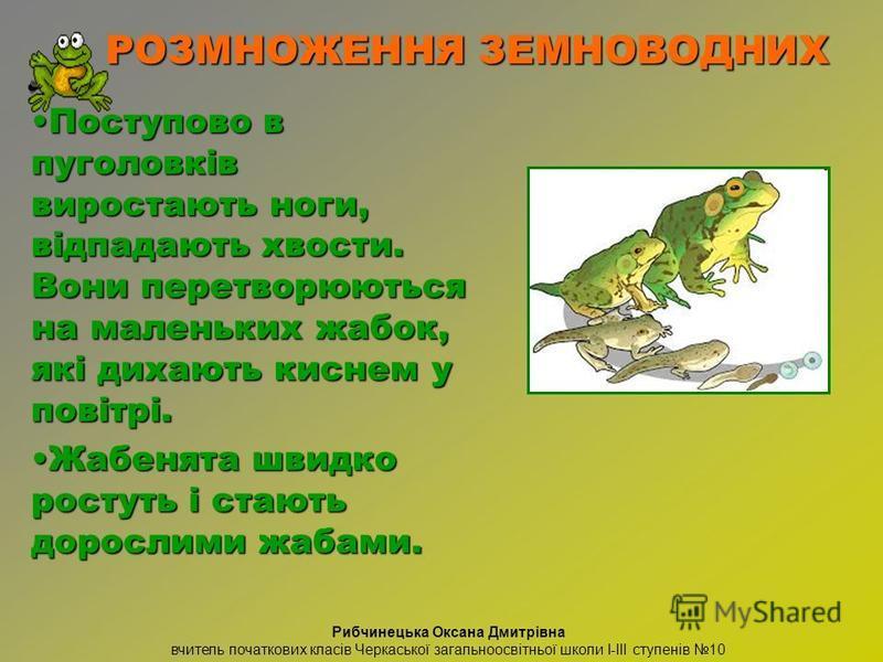 Поступово в пуголовків виростають ноги, відпадають хвости. Вони перетворюються на маленьких жабок, які дихають киснем у повітрі.Поступово в пуголовків виростають ноги, відпадають хвости. Вони перетворюються на маленьких жабок, які дихають киснем у по