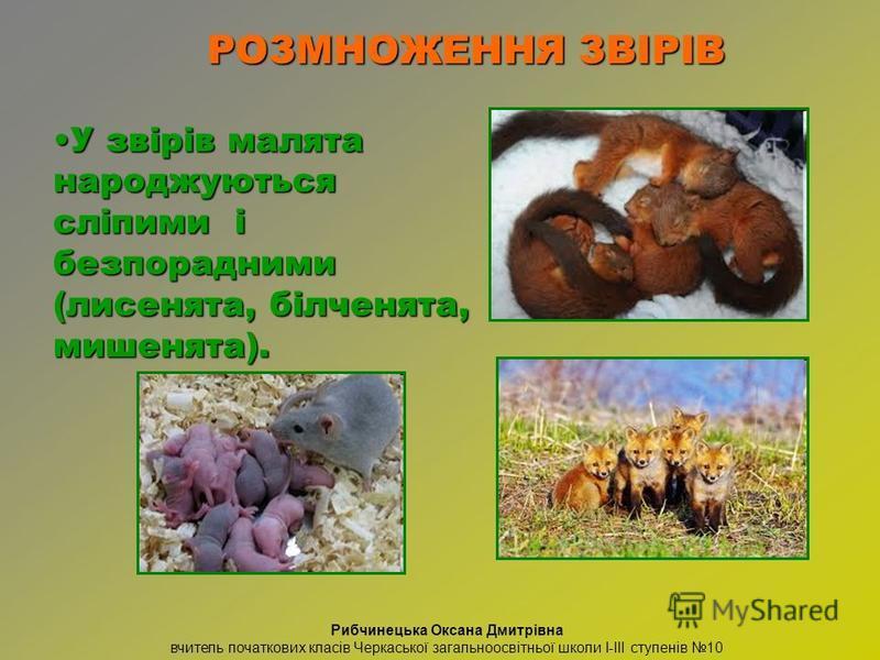 У звірів малята народжуються сліпими і безпорадними (лисенята, білченята, мишенята).У звірів малята народжуються сліпими і безпорадними (лисенята, білченята, мишенята). РОЗМНОЖЕННЯ ЗВІРІВ Рибчинецька Оксана Дмитрівна вчитель початкових класів Черкась