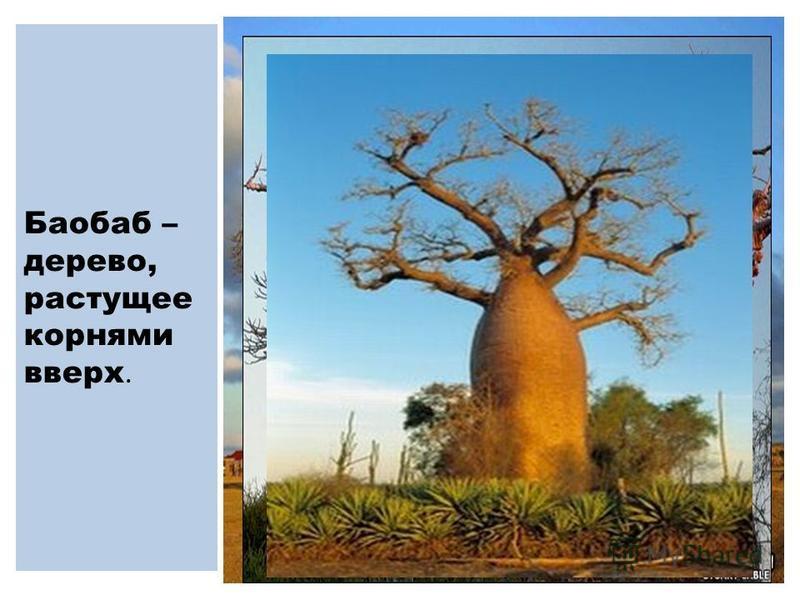 Баобаб – дерево, растущее корнями вверх.
