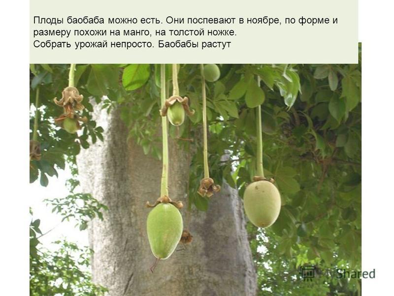 Плоды баобаба Плоды баобаба можно есть. Они поспевают в ноябре, по форме и размеру похожи на манго, на толстой ножке. Собрать урожай непросто. Баобабы растут