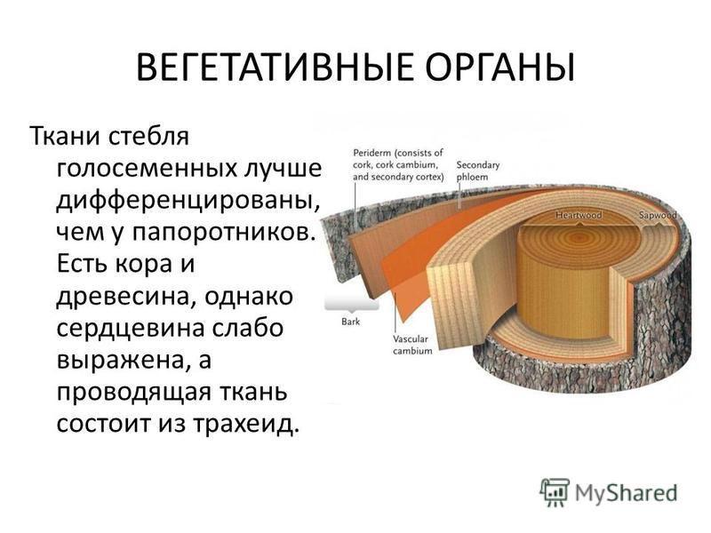ВЕГЕТАТИВНЫЕ ОРГАНЫ Ткани стебля голосеменных лучше дифференцированы, чем у папоротников. Есть кора и древесина, однако сердцевина слабо выражена, а проводящая ткань состоит из трахеид.