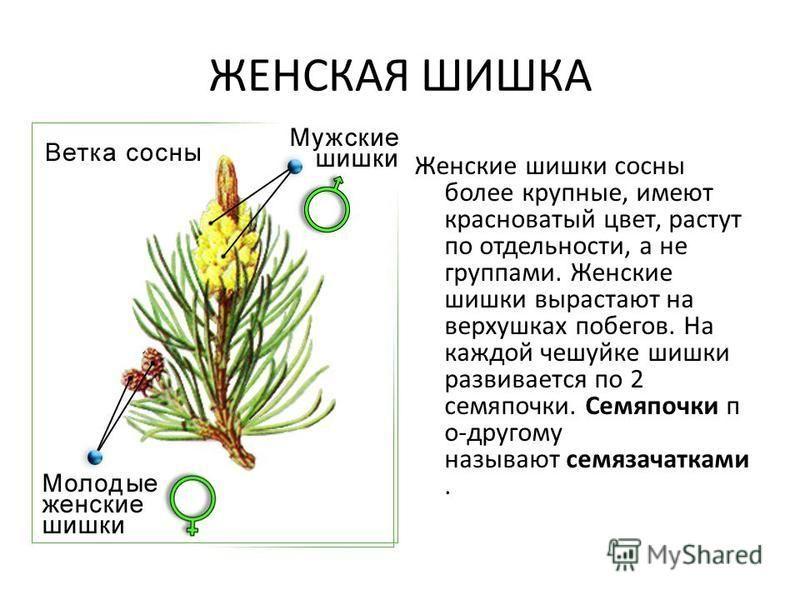 ЖЕНСКАЯ ШИШКА Женские шишки сосны более крупные, имеют красноватый цвет, растут по отдельности, а не группами. Женские шишки вырастают на верхушках побегов. На каждой чешуйке шишки развивается по 2 семяпочки. Семяпочки п о-другому называют семязачатк