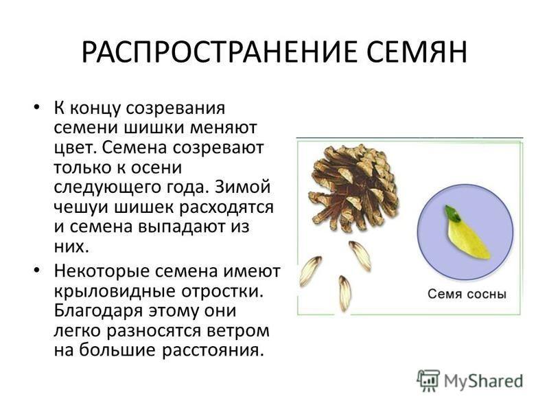 РАСПРОСТРАНЕНИЕ СЕМЯН К концу созревания семени шишки меняют цвет. Семена созревают только к осени следующего года. Зимой чешуи шишек расходятся и семена выпадают из них. Некоторые семена имеют крыловидные отростки. Благодаря этому они легко разносят