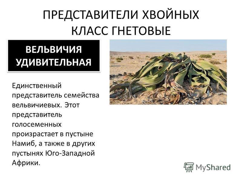 ПРЕДСТАВИТЕЛИ ХВОЙНЫХ КЛАСС ГНЕТОВЫЕ ВЕЛЬВИЧИЯ УДИВИТЕЛЬНАЯ Единственный представитель семейства вельвичиевых. Этот представитель голосеменных произрастает в пустыне Намиб, а также в других пустынях Юго-Западной Африки.