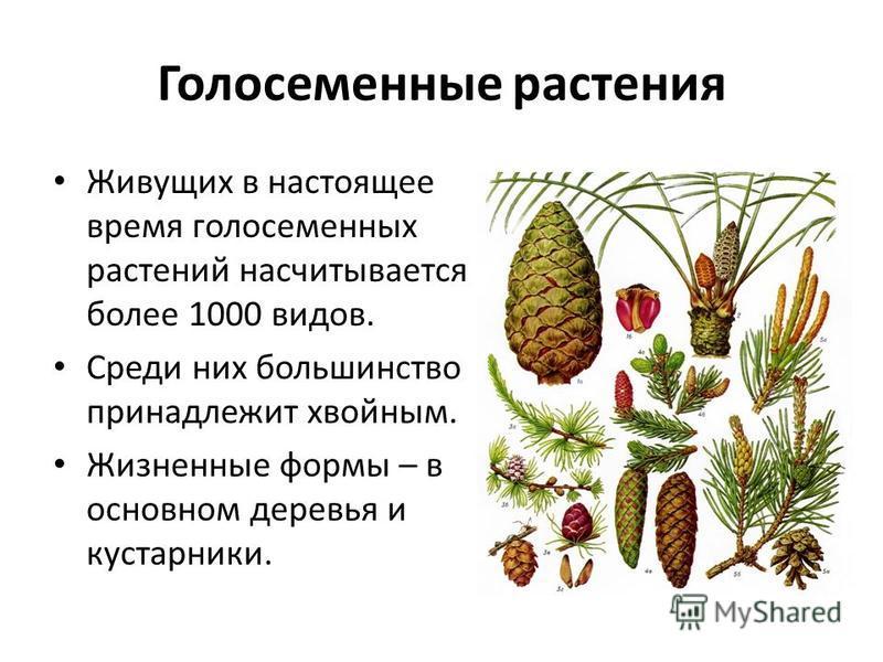Голосеменные растения Живущих в настоящее время голосеменных растений насчитывается более 1000 видов. Среди них большинство принадлежит хвойным. Жизненные формы – в основном деревья и кустарники.