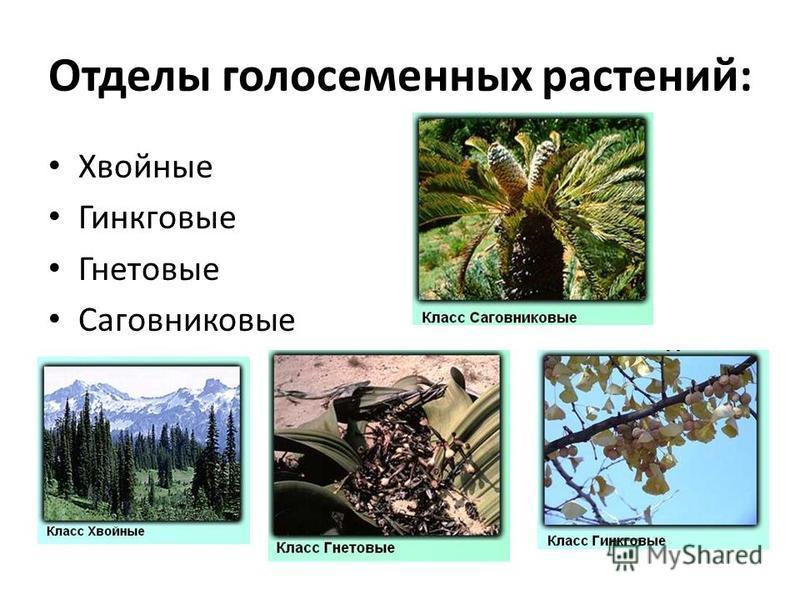 Отделы голосеменных растений: Хвойные Гинкговые Гнетовые Саговниковые
