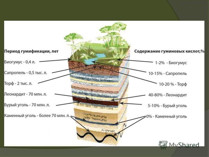 Гумифика́ция это процесс образования специфических гумузовых веществ в результате трансформации органических остатков.гумузовых В широком смысле слова под гумификацией понимают совокупность процессов превращения исходных органических веществ в гумино