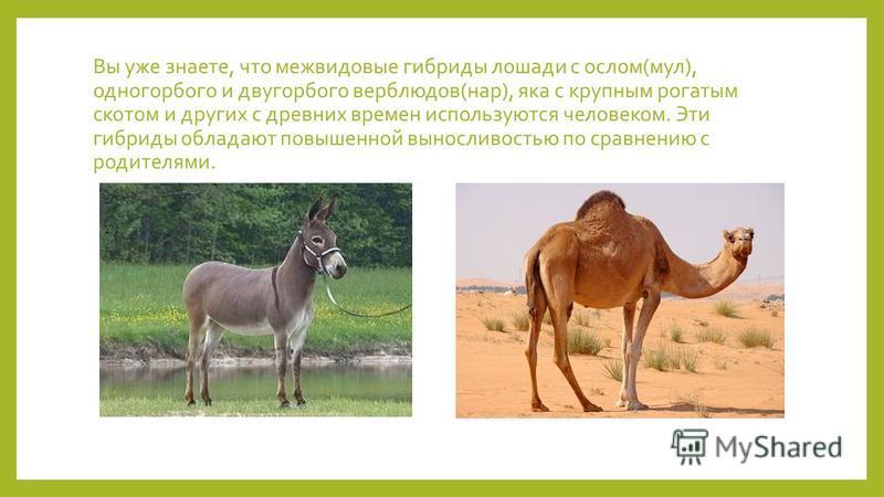 Вы уже знаете, что межвидовые гибриды лошади с ослом(мул), одногорбого и двугорбого верблюдов(нар), яка с крупным рогатым скотом и других с древних времен используются человеком. Эти гибриды обладают повышенной выносливостью по сравнению с родителями