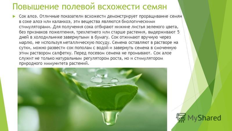 Повышение полевой всхожести семян Сок алоэ. Отличные показатели всхожести демонстрирует проращивание семян в соке алоэ или каланхоэ, эти вещества являются биологическими стимуляторами. Для получения сока отбирают нижние листья зеленого цвета, без при