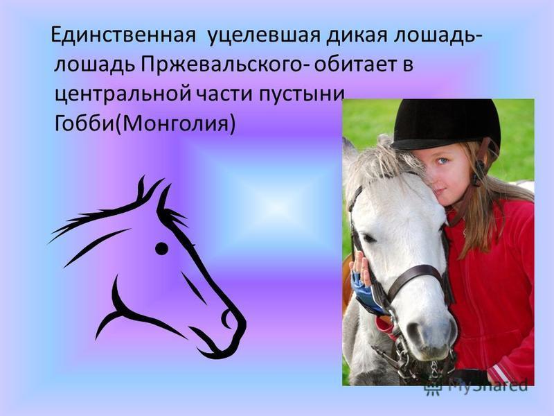 Единственная уцелевшая дикая лошадь- лошадь Пржевальского- обитает в центральной части пустыни Гобби(Монголия)