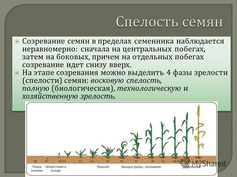 Созревание семян в пределах семенника наблюдается неравномерно : сначала на центральных побегах, затем на боковых, причем на отдельных побегах созревание идет снизу вверх. На этапе созревания можно выделить 4 фазы зрелости ( спелости ) семян : восков