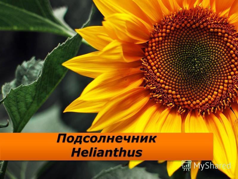 Подсолнечник Helianthus