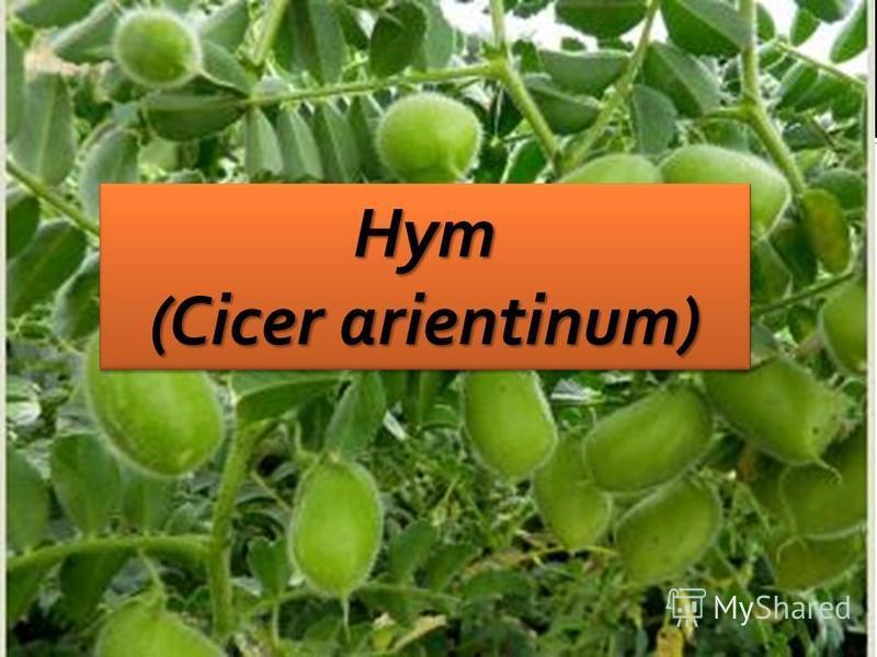 Нут (Cicer arientinum) Нут