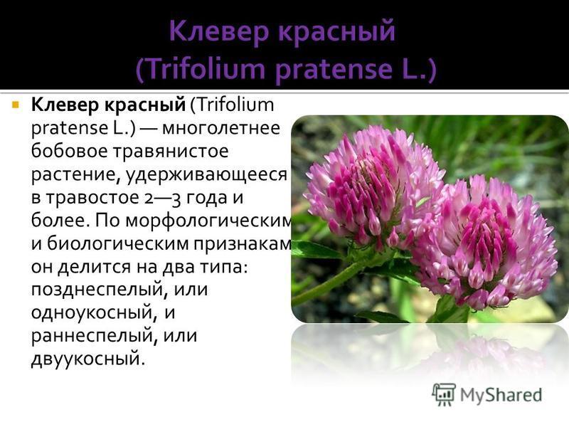 Клевер красный (Trifolium pratense L.) многолетнее бобовое травянистое растение, удерживающееся в травостое 23 года и более. По морфологическим и биологическим признакам он делится на два типа: позднеспелый, или одноукосный, и раннеспелый, или двууко
