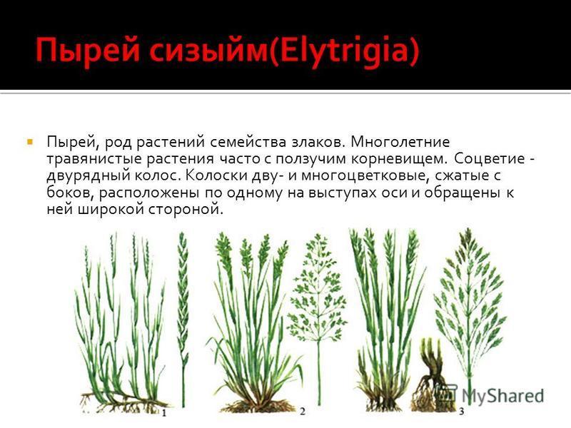 Пырей, род растений семейства злаков. Многолетние травянистые растения часто с ползучим корневищем. Соцветие - дварядный колос. Колоски два- и многоцветковые, сжатые с боков, расположены по одному на выступах оси и обращены к ней широкой стороной.
