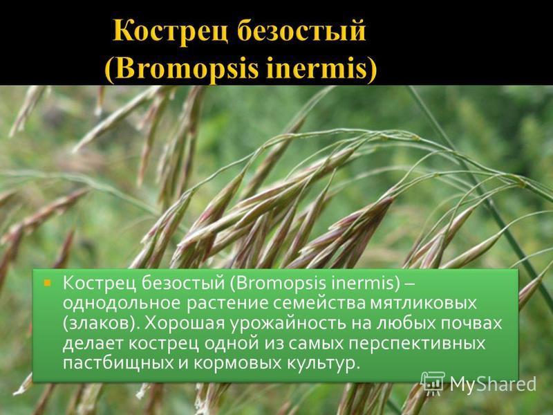 Кострец безостый (Bromopsis inermis) – однодольное растение семейства мятликовых (злаков). Хорошая урожайность на любых почвах делает кострец одной из самых перспективных пастбищных и кормовых культур.