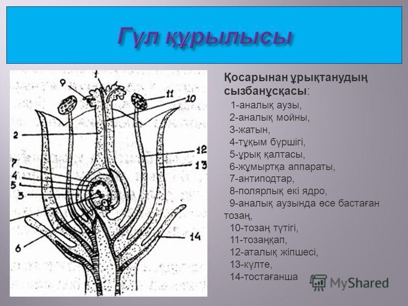 Қосарынан ұрықтанудың сызбанұсқасы: 1-аналық тузы, 2-аналық мойны, 3-жатын, 4-тұқим бүршігі, 5-ұрық қалтасы, 6-жұмыртқа аппараты, 7-антиподтар, 8-полярлық екі ядро, 9-аналық тузында өсе бастаған тозаң, 10-тозаң түтігі, 11-тозаңқап, 12-аталық жіпшесі,