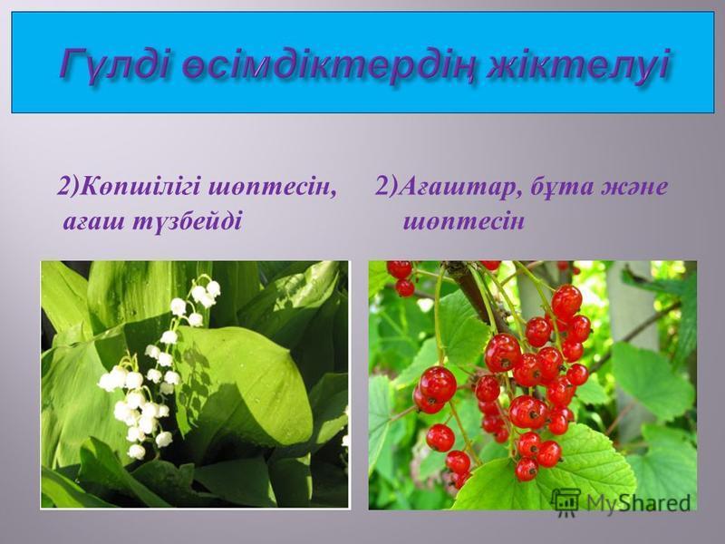 2) Көпшілігі шөптесін, ағаш түзбейді 2) Ағаштар, бұта және шөптесін