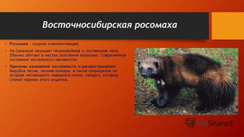 Восточносибирская росомаха Росомаха - хищное млекопитающее. На Сахалине занимает тёмнохвойные и лиственные леса. Обычно обитает в местах скопления копытных. Современное состояние численности неизвестно. Причины изменения численности и распространения