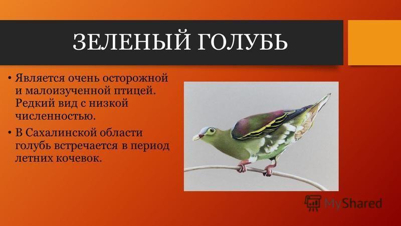 ЗЕЛЕНЫЙ ГОЛУБЬ Является очень осторожной и малоизученной птицей. Редкий вид с низкой численностью. В Сахалинской области голубь встречается в период летних кочевок.