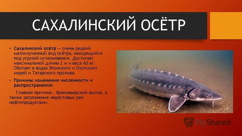 САХАЛИНСКИЙ ОСЁТР Сахалинский осётр очень редкий малоизученный вид осётра, находящийся под угрозой исчезновения. Достигает максимальной длины 2 м и веса 60 кг. Обитает в водах Японского и Охотского морей и Татарского пролива. Причины изменения числен