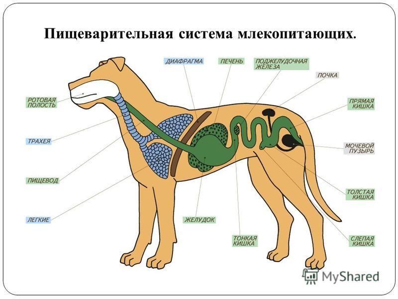 Пищеварительная система млекопитающих.