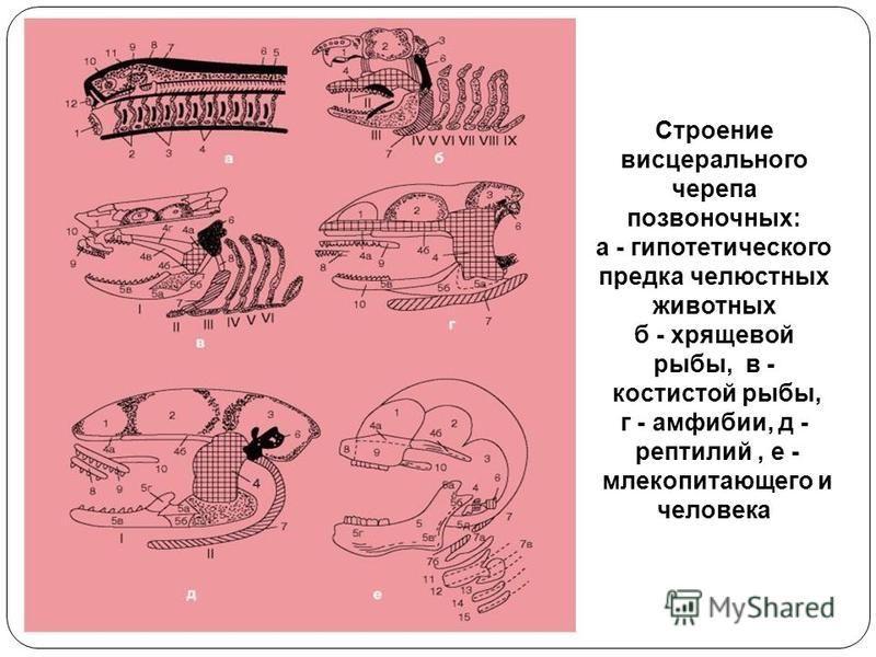 Строение висцерального черепа позвоночных: а - гипотетического предка челюстных животных б - хрящевой рыбы, в - костистой рыбы, г - амфибии, д - рептилий, е - млекопитающего и человека