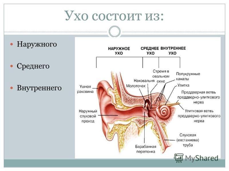 Ухо состоит из: Наружного Среднего Внутреннего