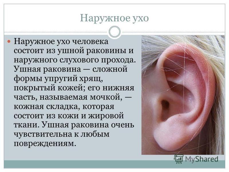 Наружное ухо Наружное ухо человека состоит из ушной раковины и наружного слухового прохода. Ушная раковина сложной формы упругий хрящ, покрытый кожей; его нижняя часть, называемая мочкой, кожная складка, которая состоит из кожи и жировой ткани. Ушная