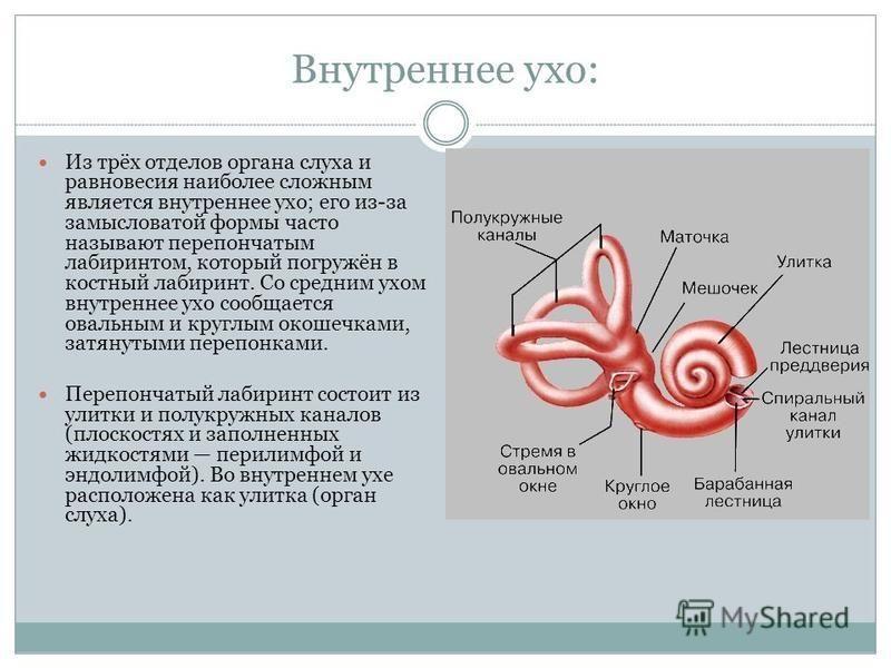 Внутреннее ухо: Из трёх отделов органа слуха и равновесия наиболее сложным является внутреннее ухо; его из-за замысловатой формы часто называют перепончатым лабиринтом, который погружён в костный лабиринт. Со средним ухом внутреннее ухо сообщается ов