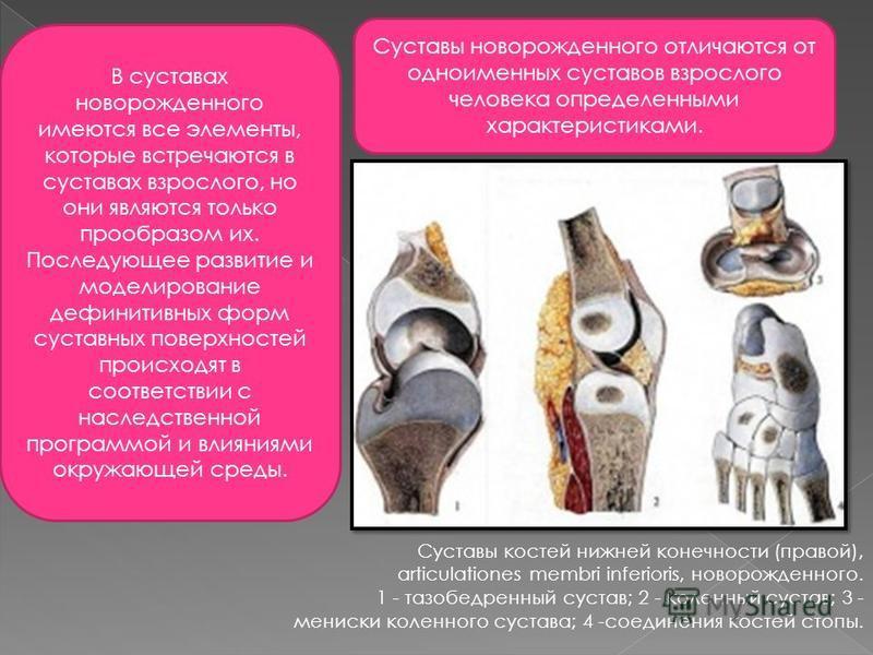 В суставах новорожденного имеются все элементы, которые встречаются в суставах взрослого, но они являются только прообразом их. Последующее развитие и моделирование дефинитивных форм суставных поверхностей происходят в соответствии с наследственной п