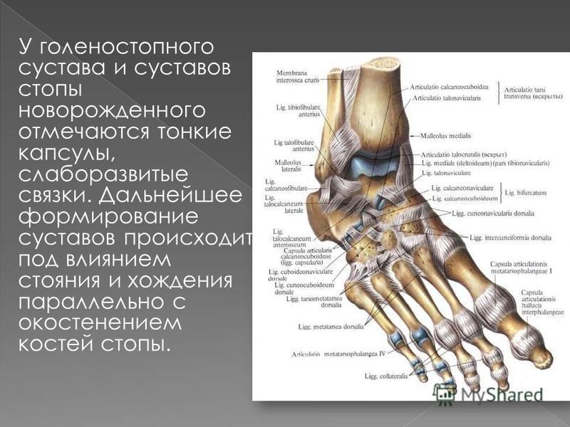 У голеностопного сустава и суставов стопы новорожденного отмечаются тонкие капсулы, слаборазвитые связки. Дальнейшее формирование суставов происходит под влиянием стояния и хождения параллельно с окостенением костей стопы.