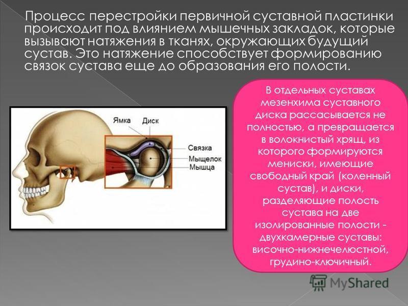 Процесс перестройки первичной суставной пластинки происходит под влиянием мышечных закладок, которые вызывают натяжения в тканях, окружающих будущий сустав. Это натяжение способствует формированию связок сустава еще до образования его полости. В отде