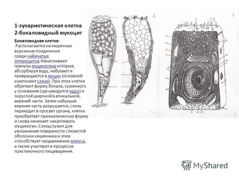 1-эукариотическая клетка 2-бокаловидный мукоцит Бокаловидная клетка- Располагаются на кишечных ворсинках поодиночке среди каёмчатых энтероцитов.Накапливают гранулы муциногена которые, абсорбируя воду, набухают и превращаются в муцин (основной компоне