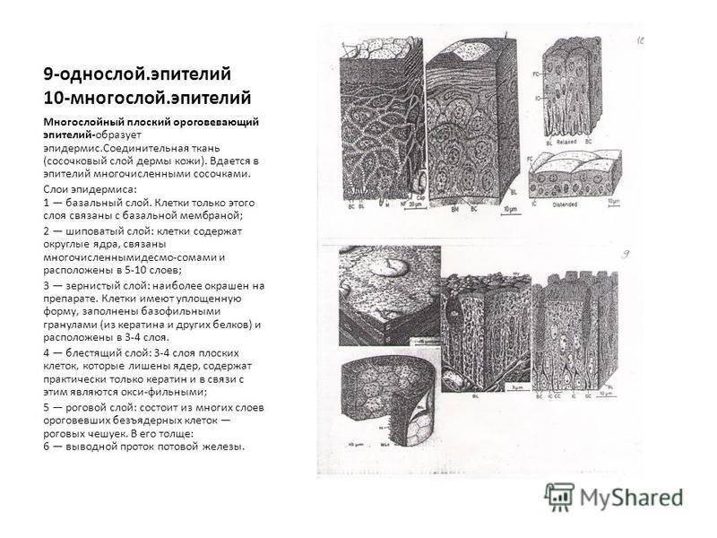 9-однослой.эпителий 10-многослой.эпителий Многослойный плоский ороговевающий эпителий-образует эпидермис.Соединительная ткань (сосочковый слой дермы кожи). Вдается в эпителий многочисленными сосочками. Слои эпидермиса: 1 базальный слой. Клетки только