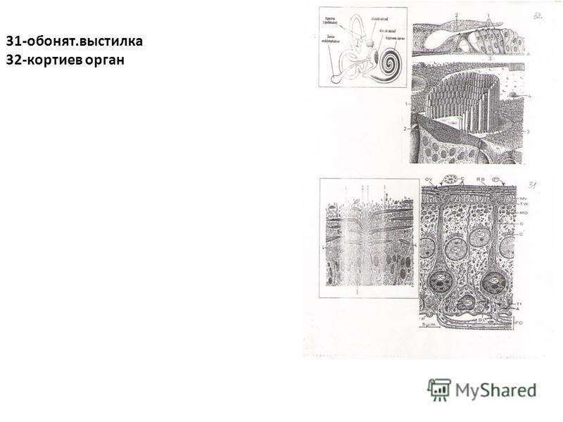 31-обонят.выстилка 32-кортиев орган