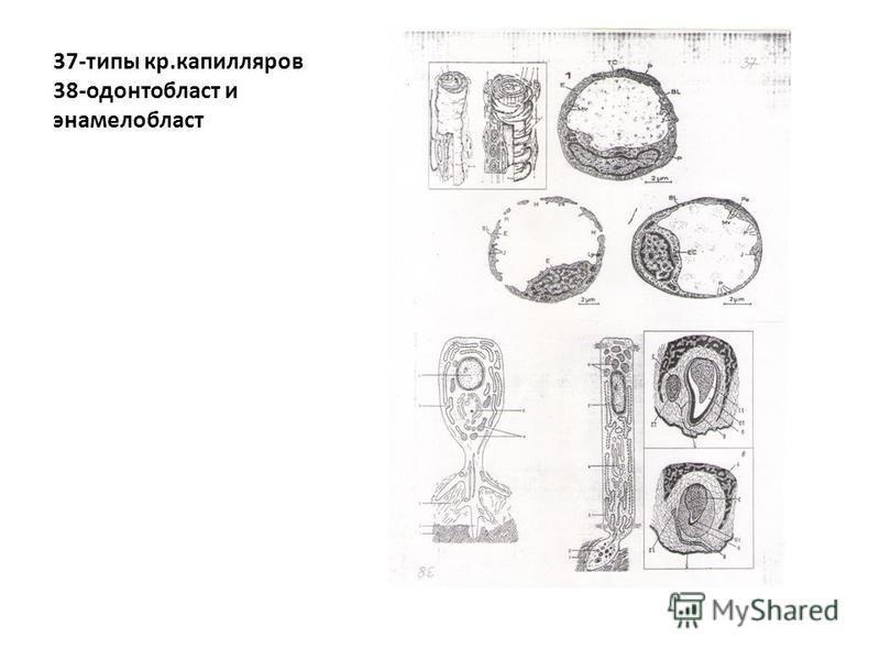 37-типы кр.капилляров 38-одонтобласт и энамелобласт