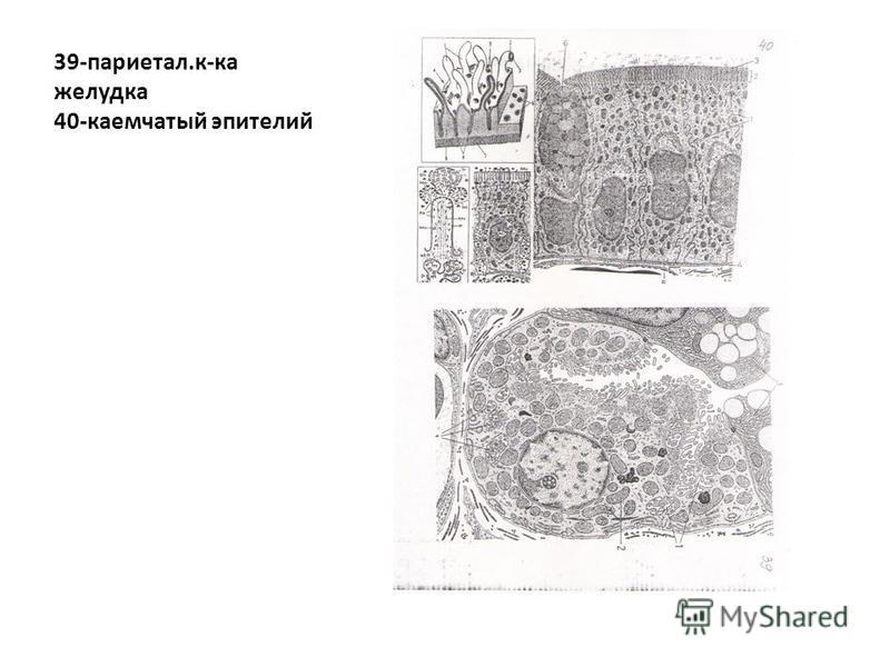 39-париетал.к-ка желудка 40-каемчатый эпителий